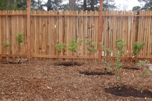The orchard, newly planted